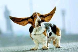 basset-hund.jpg