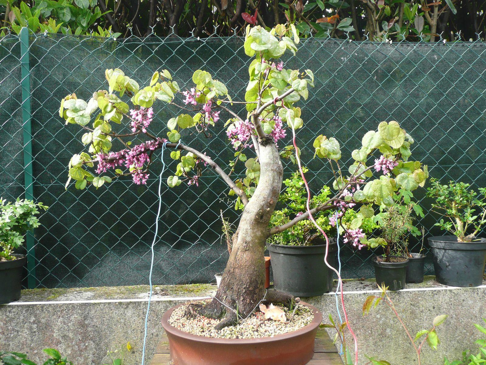 Rempotage cercis siliquastrum arbre de jud e armand bonsa - Arbre en pot ...