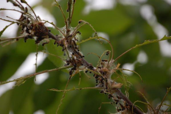 Chenilles sur notre cerisier les yeux de ma vie - Traitement contre les chenilles ...