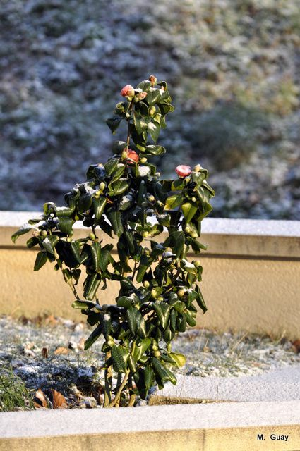 camelia froid 0002