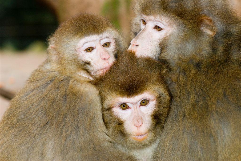 Orang-outangs et loutres