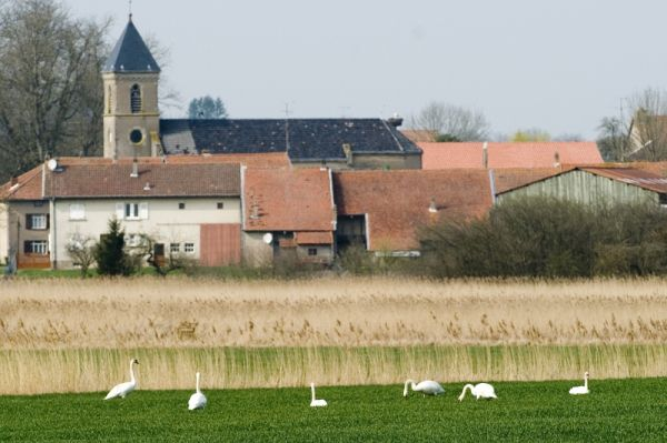 Oiseaux et paysages étang de Mittersheim, foulques macroule, cygnes tuberculés, hérons cendrés, mésange bleue et chatons de saule