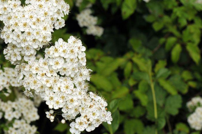 Flore des collines calcaires d'Alsace en mai 2009