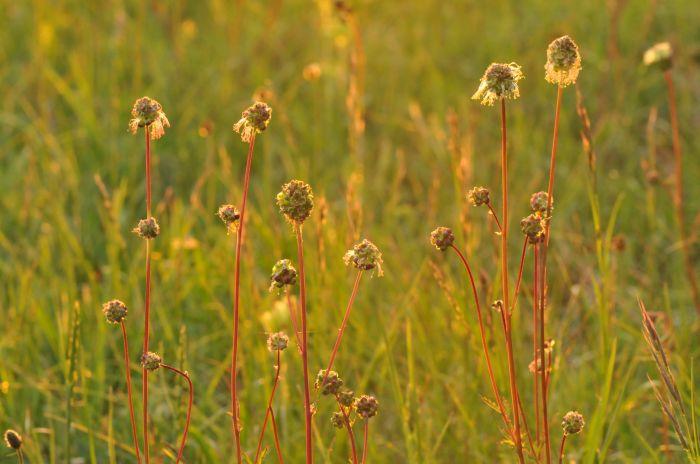 Flore et Orchidées des collines calcaires d'Alsace