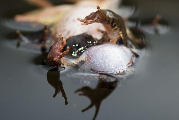 Le frai des grenouilles rousses, dans une mare et au lac de la Maix, Au début, la grenouille femelle étranglée par le mâle.