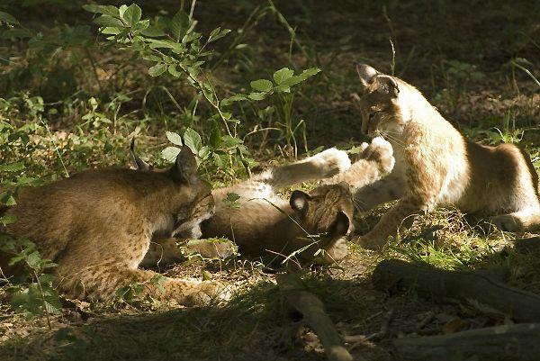 Eté 2009, naissance de deux bébés lynx au parc de Ste Croix à Rhodes.Les petits jouent avec leur mère