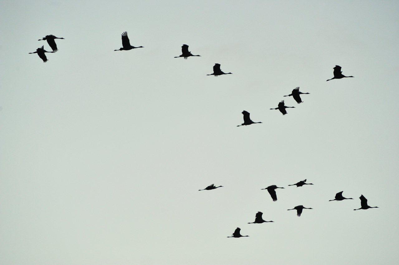 Envol des grues cendrées au lever du jour, (et quelques autres oiseaux)  à Montier-en-Der (Haute-Marne)
