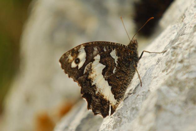 Papillons des Vosges et du Jura. l'Apollon du Parnasse, notamment, est une espèce qui a disparu des Vosges.