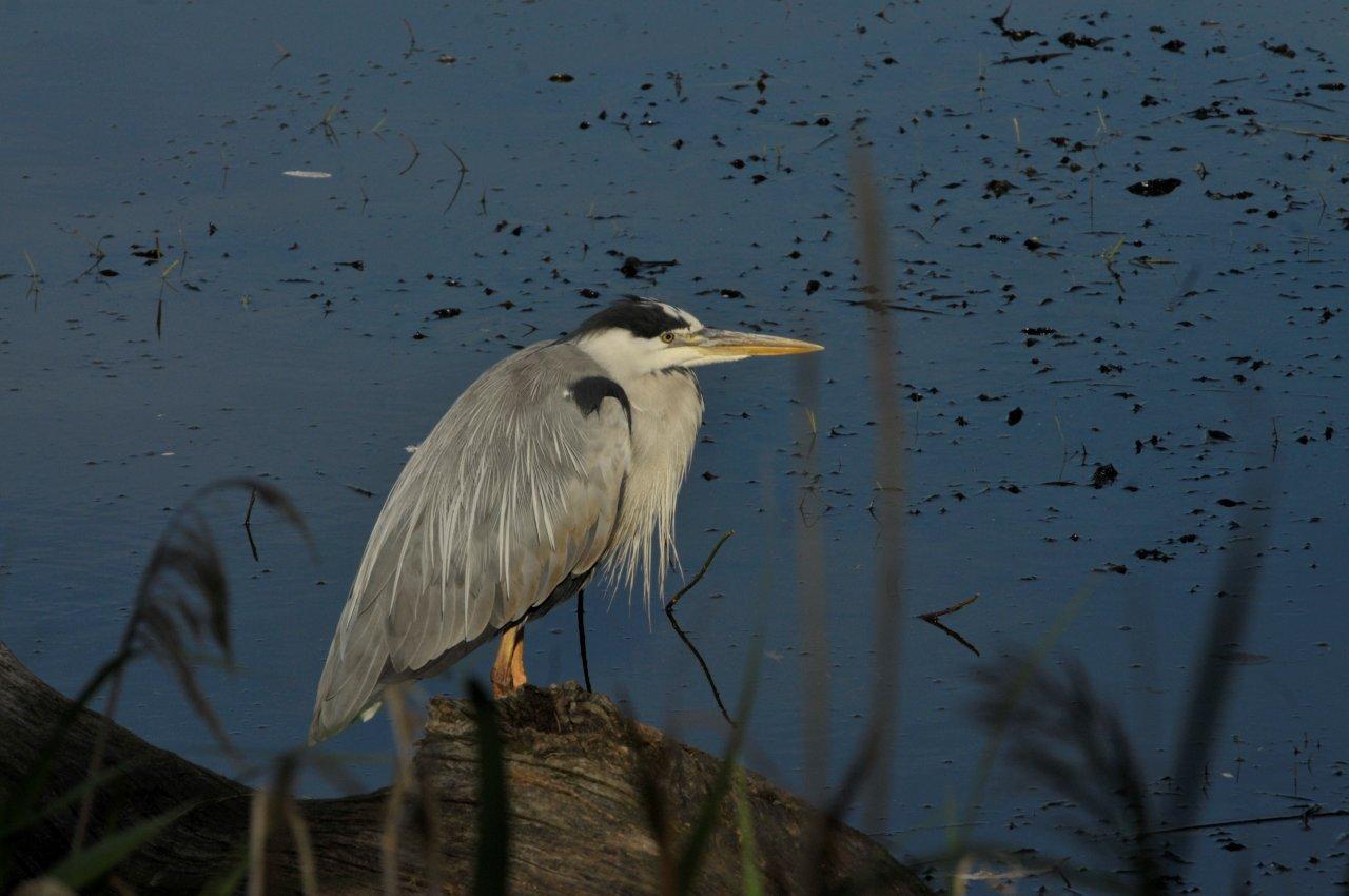 Les étangs autour de Sarrebourg. Oies cendrées, cygnes tuberculés, cigognes blanches,, foulques macroule, hérons cendrés, grands cormorans, poules faisannes, merles, mésanges charbonnières, rouge-gorge