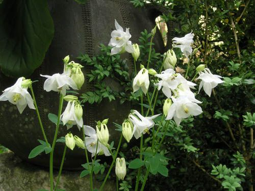 Ancolies blanches 2