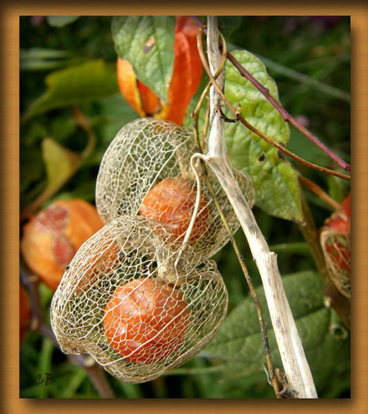 Physalis amour en cage