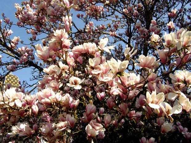 fleurs magnolia