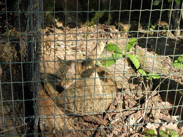 Parc de Ste Croix chat sauvage
