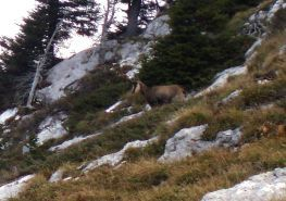 chamois2-copie-1.jpg