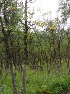 Mountain-birch-forest.JPG