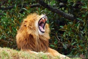 NZEL06-190-lion-rugissant.jpg