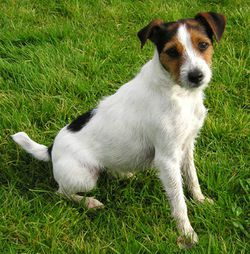 250px-Parson_Russell_Terrier.jpg