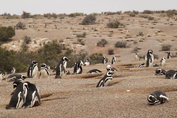 patagonie punta-tombo-manchots-sylvain-richier