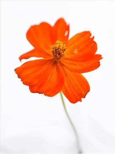 fp034 cosmos rouge 2