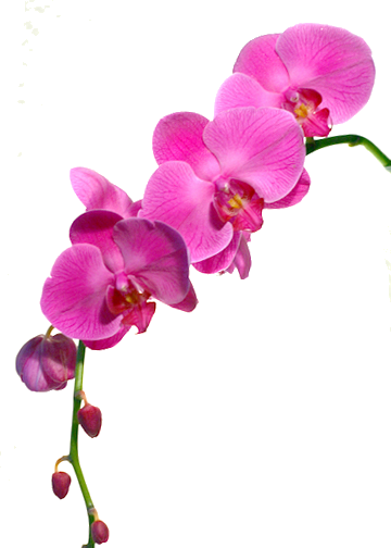 orchidee6.png