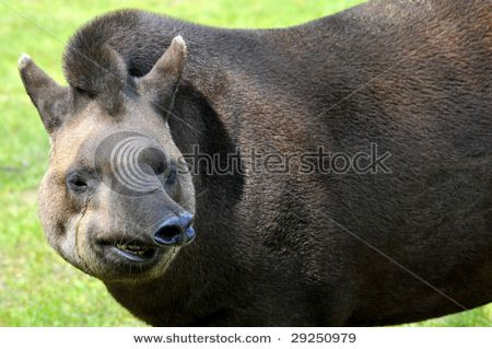 stock-photo-portrait-of-south-american-tapir-tapirus-terres.jpg