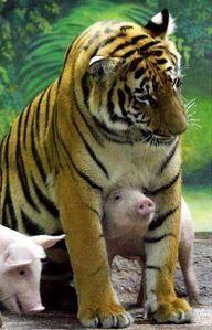 comme-cochon-et-tigre.jpg