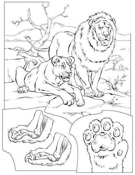 coloriage-lions-gif.jpg