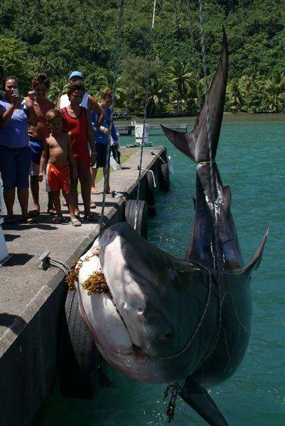 requin-tigre-Tahiti.jpg