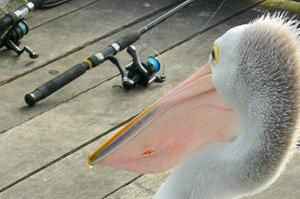 wa-great-southern-albany-pelican-and-fishing-rod.JPG