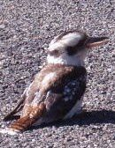 laughing-kookaburrah-copie-1.JPG