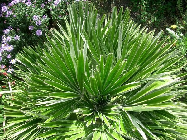 Vulcano une super production chamaerops humilis for Fleur qui ne gele pas