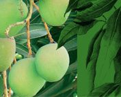Mangue-copie-1.jpg