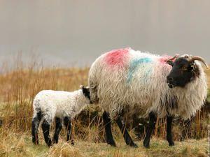 photo-irlande-photo-mouton-06.jpg