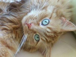 caramel-aux-yeux-bleu-vert.jpg