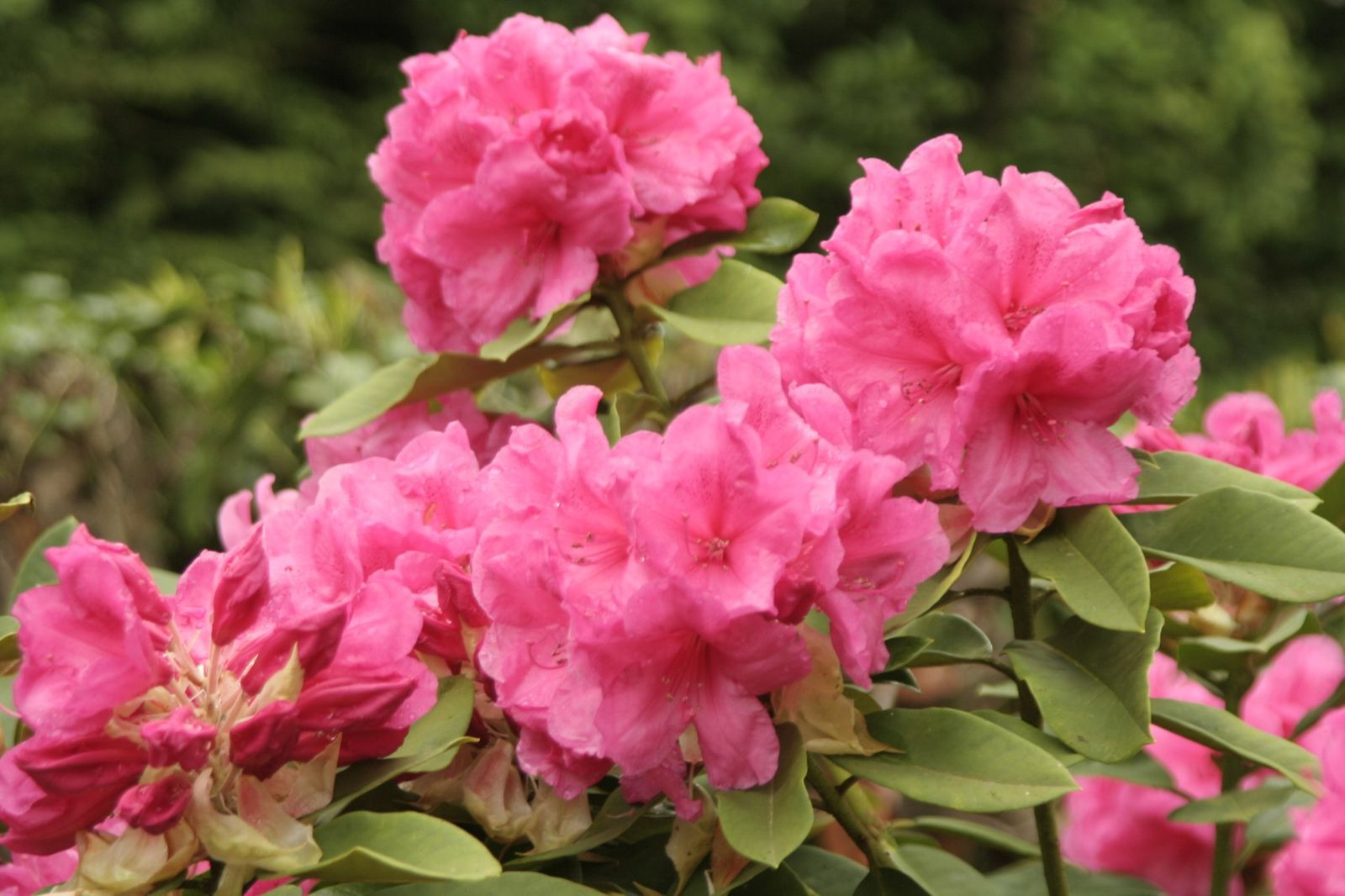 Rhododendron anne rose whitney - Arbuste persistant a fleur ...
