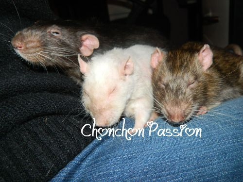 Autres boules de poils mes rats chonchon passion for Crapaud dans la maison