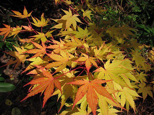 acer-palmatum-Orange-Dream-18-oct-12.JPG
