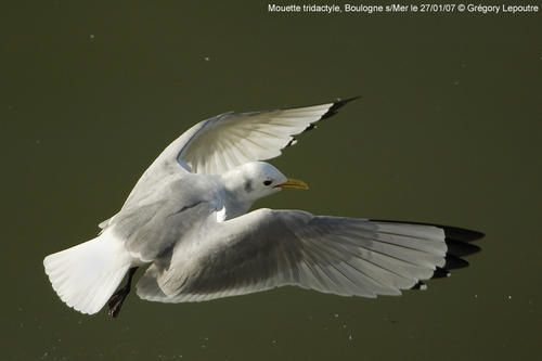 Mouette-tridactyle-Boulogne-270107a.jpg