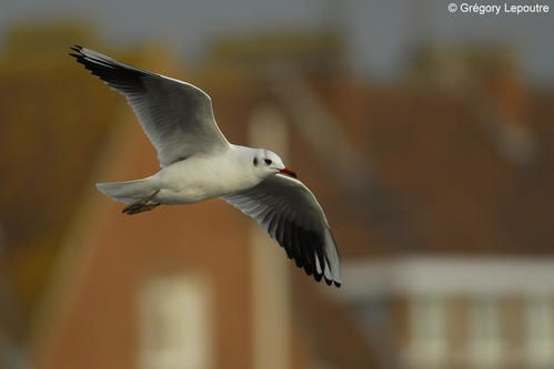 Mouette-rieuse-Gd-Fort-Philippe-281207a.jpg