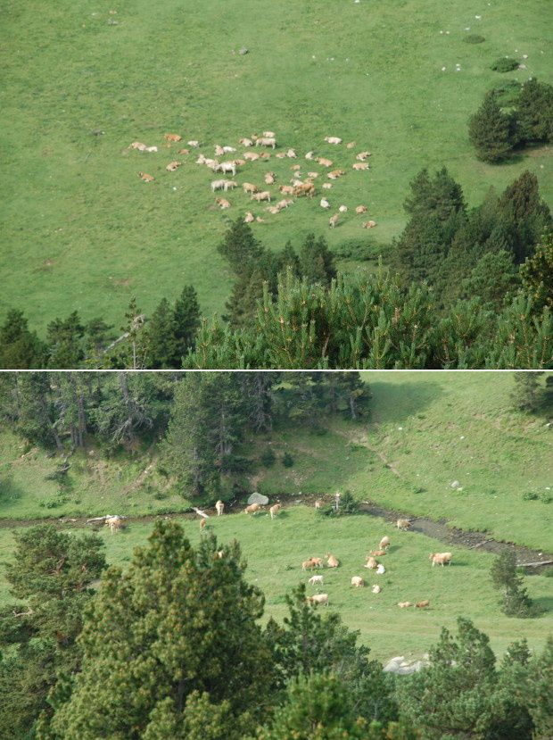 vaches des pyreneen 1
