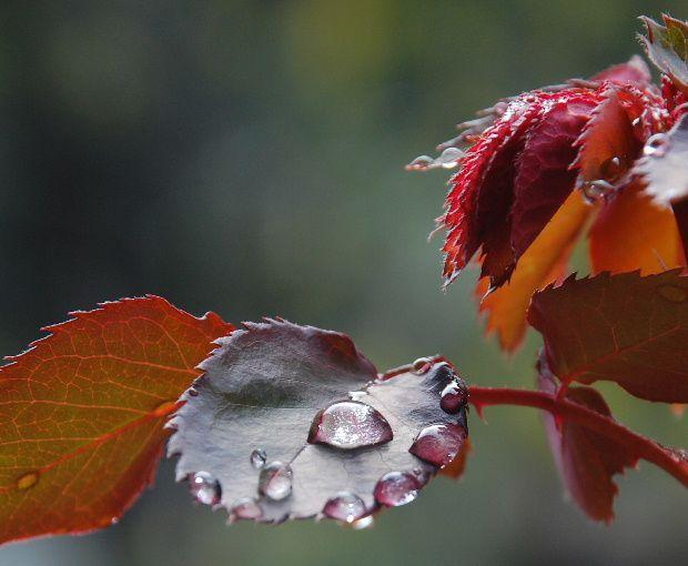 Les premi res feuilles de rosier avec des gouttes de pluie autour de - Feuilles de rosier qui jaunissent ...