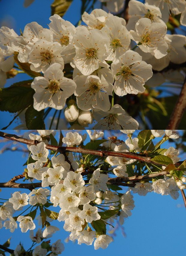 cerisier et abeilles 03