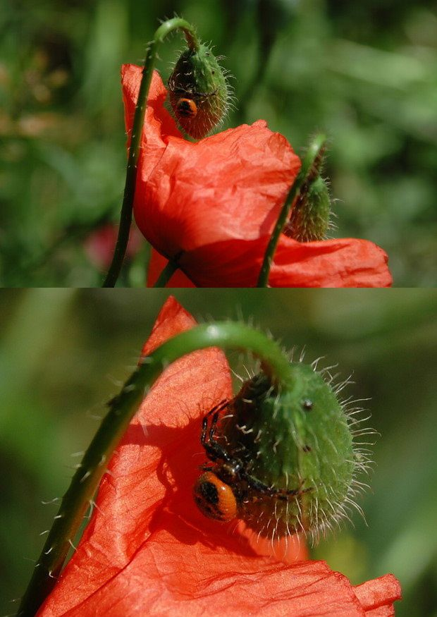 new-insecte-sur-coquelicot-a.JPG