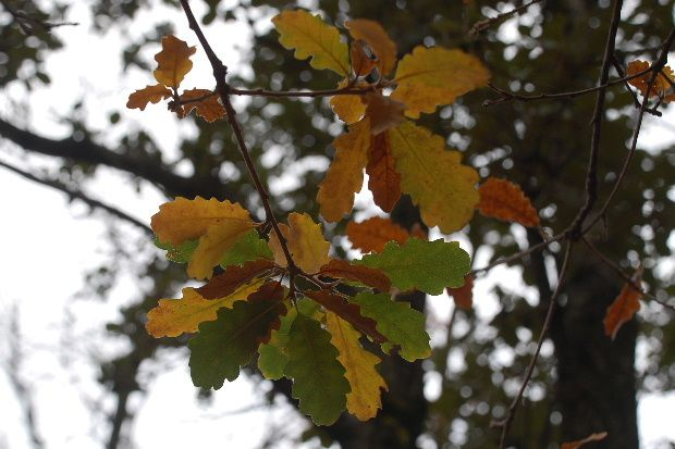 feuilles-de-chene-couleurs-de-jan-2011.JPG