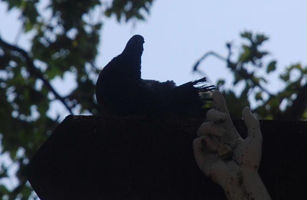 pigeon sur la croix b