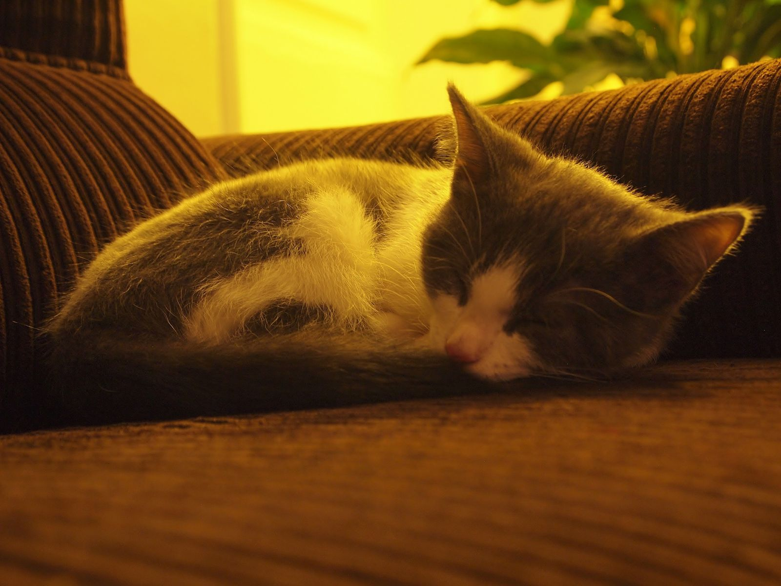 Gunther-sommeil-fauteuil-chat.JPG