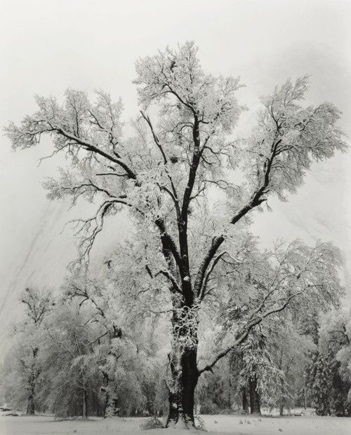 Oak-Tree--Snowstorm.-Yosemite-National-Park--1948-by-Ansel.jpeg