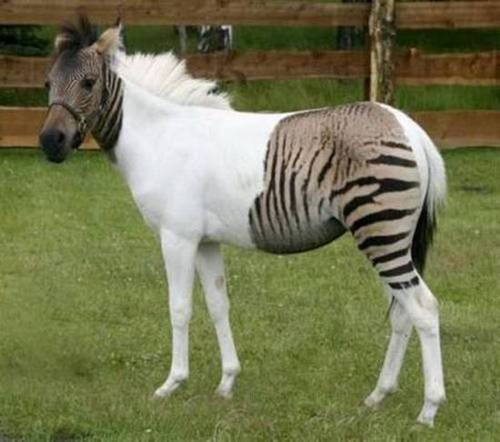 Zorse-Or-Zebrula.jpeg