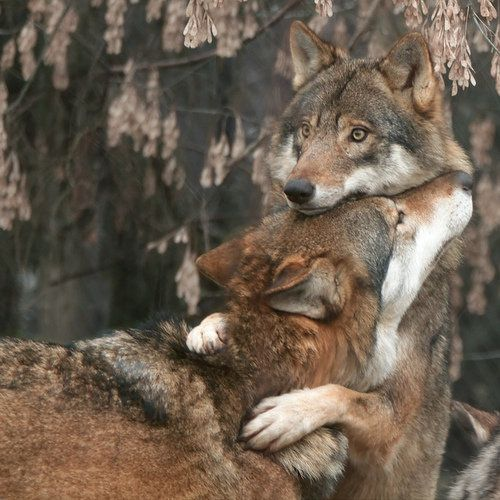 calin-de-loup.jpeg