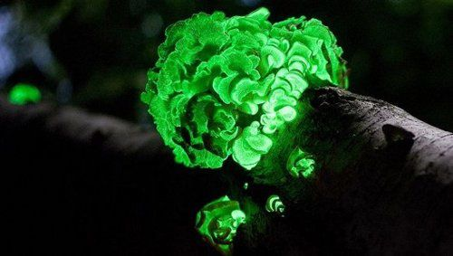 glow-in-the-dark-mushroom-rediscovered-after-170-years.jpeg